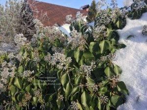 Плющ садовый вечнозелёный обыкновенный зимой на улице ФОТО Питомник растений Природа (Priroda) (40)