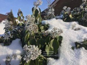 Плющ садовый вечнозелёный обыкновенный зимой на улице ФОТО Питомник растений Природа (Priroda) (41)