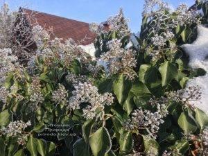 Плющ садовый вечнозелёный обыкновенный зимой на улице ФОТО Питомник растений Природа (Priroda) (42)