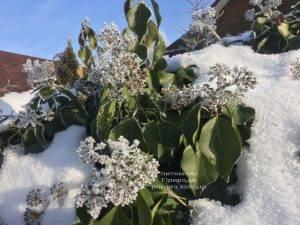 Плющ садовый вечнозелёный обыкновенный зимой на улице ФОТО Питомник растений Природа (Priroda) (43)