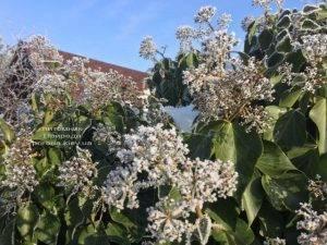 Плющ садовый вечнозелёный обыкновенный зимой на улице ФОТО Питомник растений Природа (Priroda) (44)
