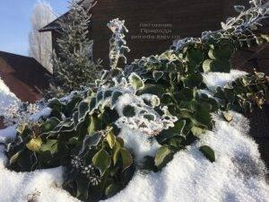 Плющ садовый вечнозелёный обыкновенный зимой на улице ФОТО Питомник растений Природа (Priroda) (45)