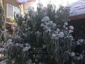 Плющ садовый вечнозелёный обыкновенный зимой на улице ФОТО Питомник растений Природа (Priroda) (46)