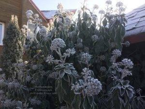 Плющ садовый вечнозелёный обыкновенный зимой на улице ФОТО Питомник растений Природа (Priroda) (47)