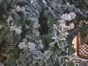 Плющ садовый вечнозелёный обыкновенный зимой на улице ФОТО Питомник растений Природа (Priroda) (48)