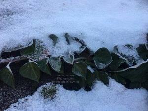 Плющ садовый вечнозелёный обыкновенный зимой на улице ФОТО Питомник растений Природа (Priroda) (31)