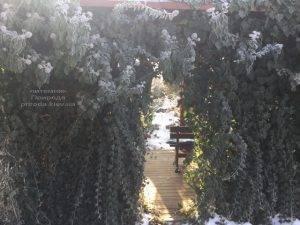 Плющ садовый вечнозелёный обыкновенный зимой на улице ФОТО Питомник растений Природа (Priroda) (49)