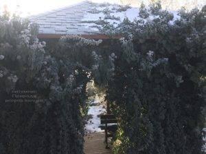 Плющ садовый вечнозелёный обыкновенный зимой на улице ФОТО Питомник растений Природа (Priroda) (50)
