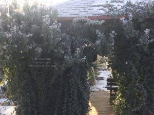 Плющ садовый вечнозелёный обыкновенный зимой на улице ФОТО Питомник растений Природа (Priroda) (51)