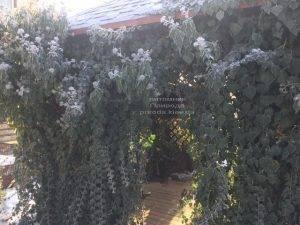 Плющ садовый вечнозелёный обыкновенный зимой на улице ФОТО Питомник растений Природа (Priroda) (52)