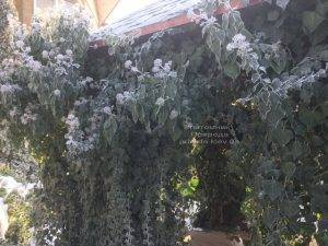 Плющ садовый вечнозелёный обыкновенный зимой на улице ФОТО Питомник растений Природа (Priroda) (53)