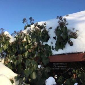 Плющ садовый вечнозелёный обыкновенный зимой на улице ФОТО Питомник растений Природа (Priroda) (55)