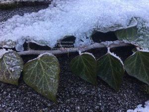 Плющ садовый вечнозелёный обыкновенный зимой на улице ФОТО Питомник растений Природа (Priroda) (32)