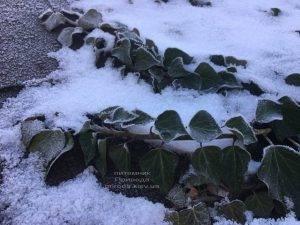 Плющ садовый вечнозелёный обыкновенный зимой на улице ФОТО Питомник растений Природа (Priroda) (33)
