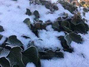 Плющ садовый вечнозелёный обыкновенный зимой на улице ФОТО Питомник растений Природа (Priroda) (34)