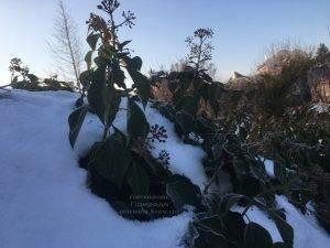 Плющ садовый вечнозелёный обыкновенный зимой на улице ФОТО Питомник растений Природа (Priroda) (35)