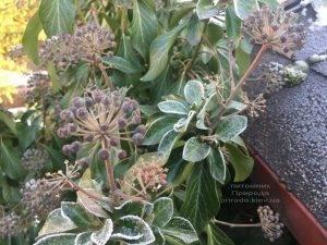 Плющ садовый вечнозелёный обыкновенный зимой на улице ФОТО Питомник растений Природа (Priroda) (36)
