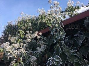 Плющ садовый вечнозелёный обыкновенный зимой на улице ФОТО Питомник растений Природа (Priroda) (38)