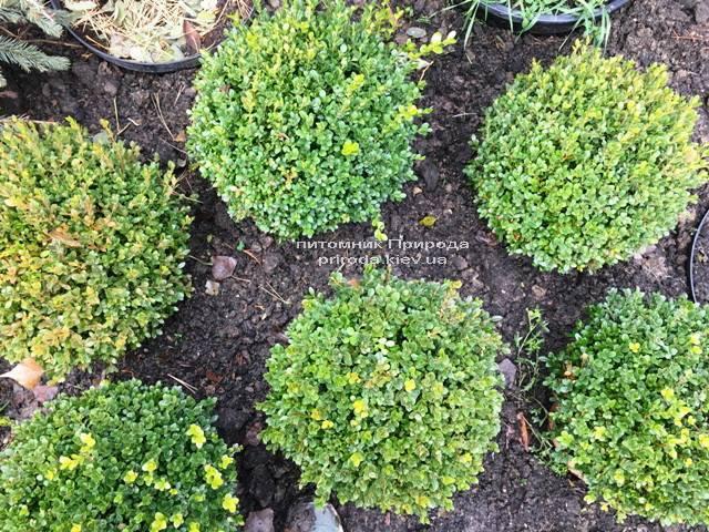 Самшит мелколистный Фолкнер Шар (Buxus microphilla Faulkner Boll) ФОТО Питомник растений Природа (Priroda) (16)