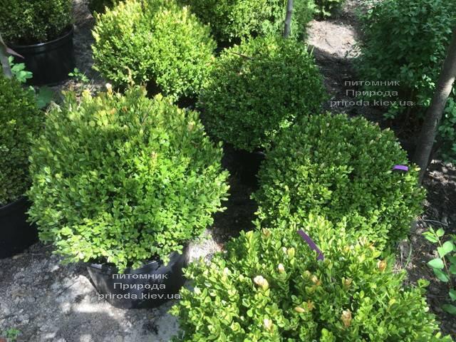 Самшит мелколистный Фолкнер Шар (Buxus microphilla Faulkner Boll) ФОТО Питомник растений Природа (Priroda) (7)