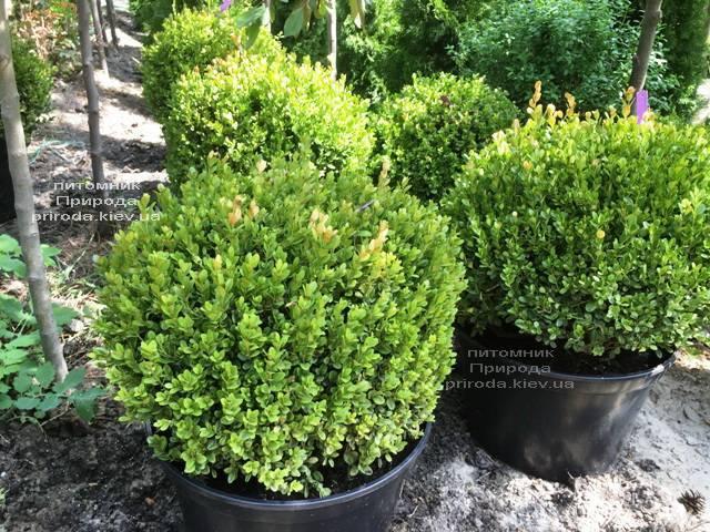 Самшит мелколистный Фолкнер Шар (Buxus microphilla Faulkner Boll) ФОТО Питомник растений Природа (Priroda) (8)