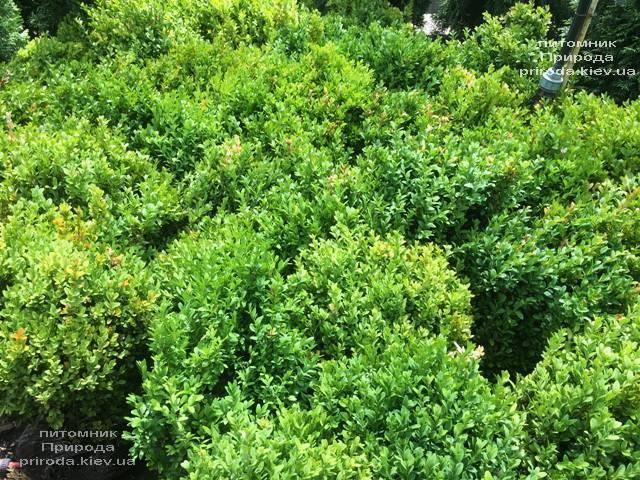 Самшит вечнозелёный (Buxus sempervirens) ФОТО Питомник растений Природа (Priroda) (16)
