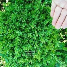 Самшит вечнозелёный Шар (Buxus sempervirens Boll) ФОТО Питомник растений Природа (Priroda) (30)