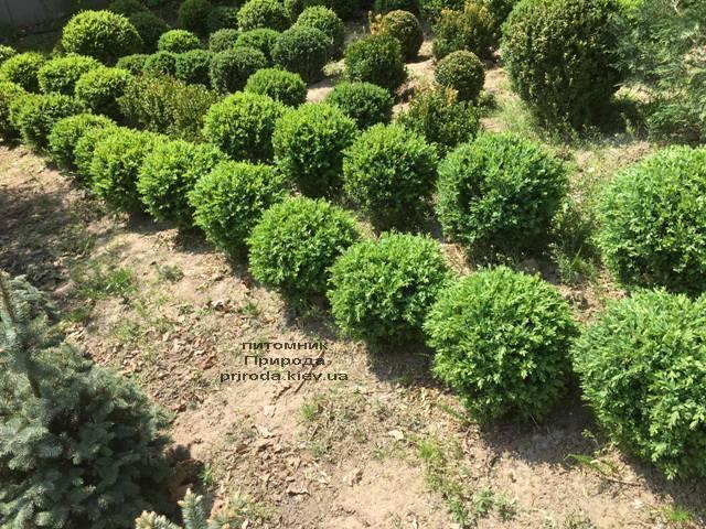 Самшит вечнозелёный Шар (Buxus sempervirens Boll) ФОТО Питомник растений Природа (Priroda) (32)