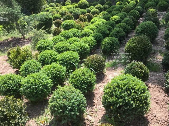 Самшит вечнозелёный Шар (Buxus sempervirens Boll) ФОТО Питомник растений Природа (Priroda) (36)