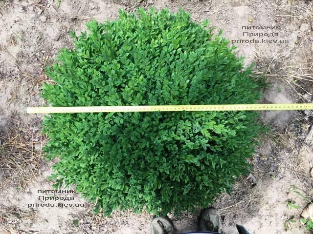 Самшит вечнозелёный Шар (Buxus sempervirens Boll) ФОТО Питомник растений Природа (Priroda) (38)