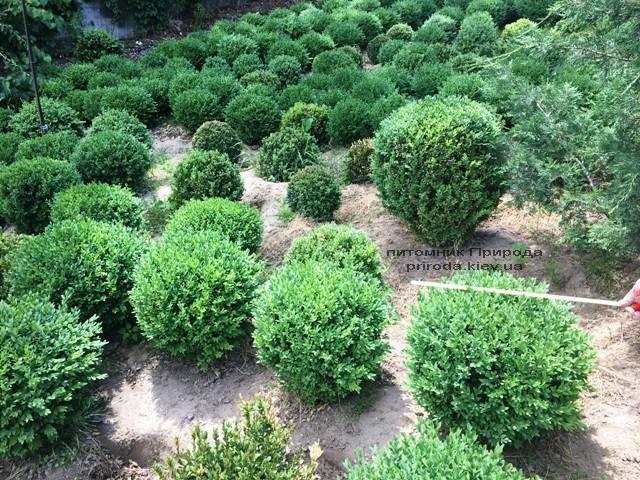 Самшит вечнозелёный Шар (Buxus sempervirens Boll) ФОТО Питомник растений Природа (Priroda) (39)