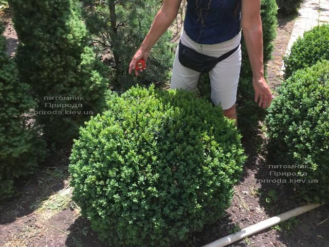 Самшит вечнозелёный Шар (Buxus sempervirens Boll) ФОТО Питомник растений Природа (Priroda) (41))