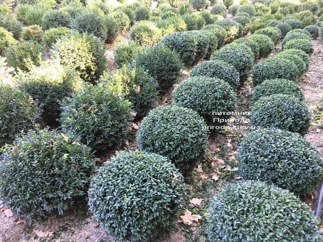 Самшит вечнозелёный Шар (Buxus sempervirens Boll) ФОТО Питомник растений Природа (Priroda) (45)