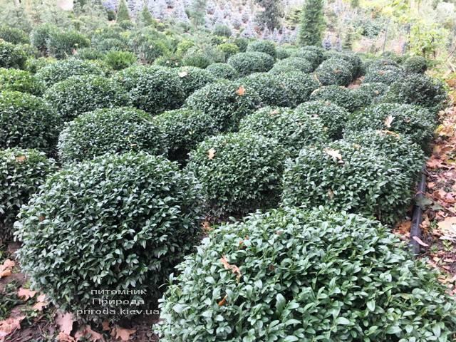 Самшит вечнозелёный Шар (Buxus sempervirens Boll) ФОТО Питомник растений Природа (Priroda) (48)