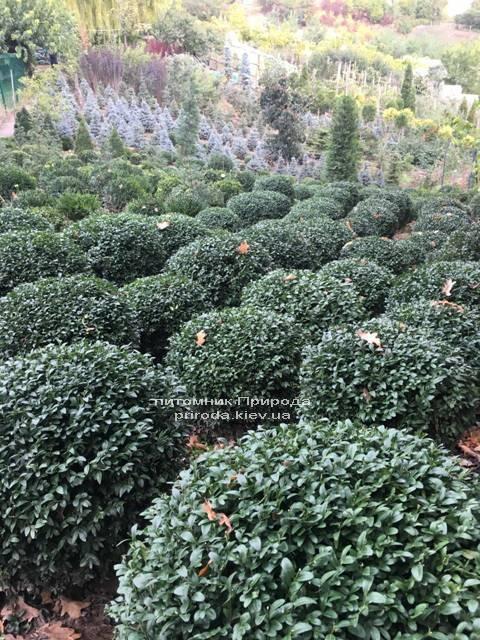 Самшит вечнозелёный Шар (Buxus sempervirens Boll) ФОТО Питомник растений Природа (Priroda) (49)