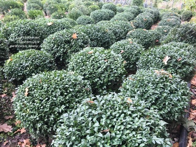 Самшит вечнозелёный Шар (Buxus sempervirens Boll) ФОТО Питомник растений Природа (Priroda) (50)