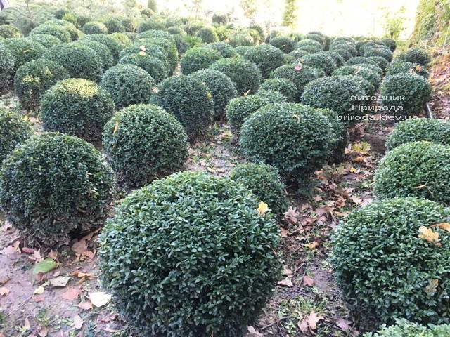 Самшит вечнозелёный Шар (Buxus sempervirens Boll) ФОТО Питомник растений Природа (Priroda) (52)