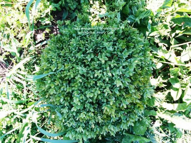 Самшит вечнозелёный Шар (Buxus sempervirens Boll) ФОТО Питомник растений Природа (Priroda) (53)