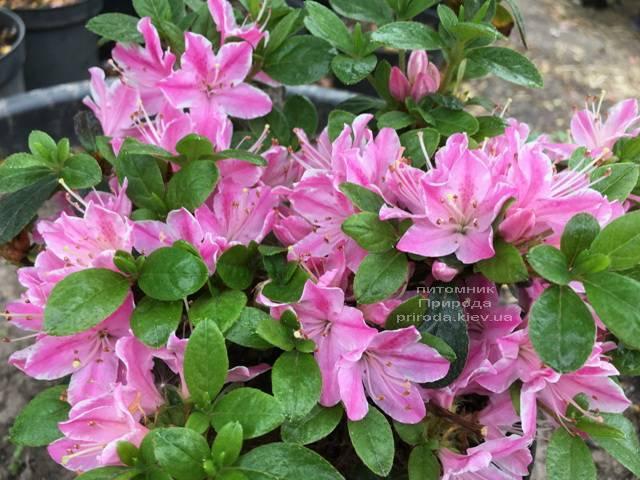 Азалия японская Кермезина Роуз (Rhododendron Kermesina Rose) ФОТО Питомник растений Природа (Priroda) (1)