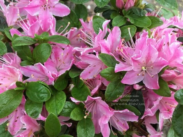 Азалия японская Кермезина Роуз (Rhododendron Kermesina Rose) ФОТО Питомник растений Природа (Priroda) (2)