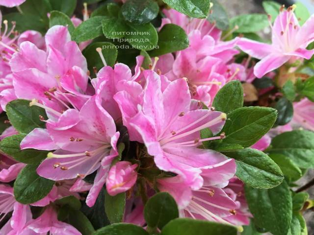 Азалия японская Кермезина Роуз (Rhododendron Kermesina Rose) ФОТО Питомник растений Природа (Priroda) (3)
