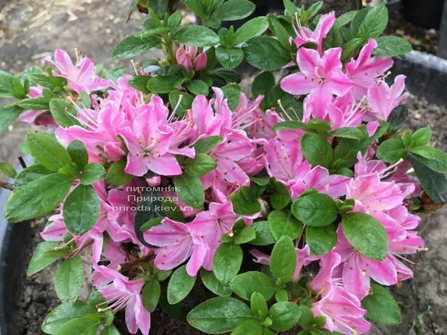 Азалия японская Кермезина Роуз (Rhododendron Kermesina Rose) ФОТО Питомник растений Природа (Priroda) (4)