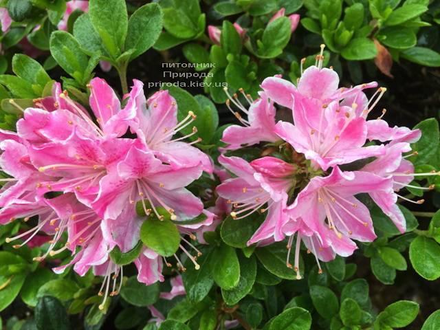 Азалия японская Кермезина Роуз (Rhododendron Kermesina Rose) ФОТО Питомник растений Природа (Priroda) (5)
