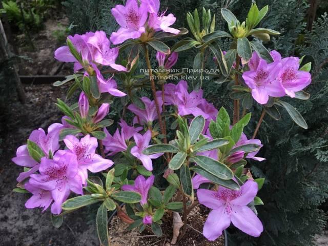 Азалия японская Ледиканенс (Rhododendron Ledicanense) ФОТО Питомник растений Природа (Priroda) (3)