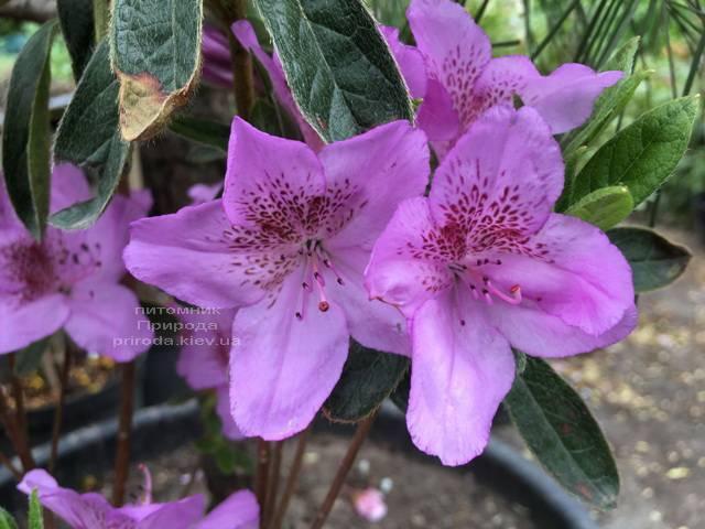 Азалия японская Ледиканенс (Rhododendron Ledicanense) ФОТО Питомник растений Природа (Priroda) (5)