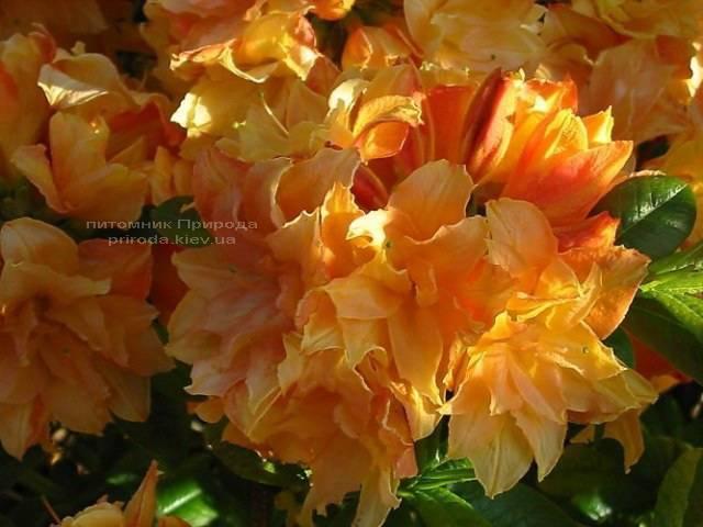 Азалия крупноцветковая Чардаш (Рододендрон листопадный Rhododendron Csardas) ФОТО (2)