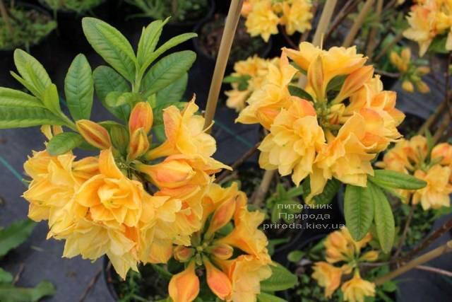 Азалия крупноцветковая Чардаш (Рододендрон листопадный Rhododendron Csardas) ФОТО (3)