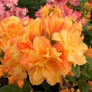 Азалия крупноцветковая Чардаш (Рододендрон листопадный Rhododendron Csardas) ФОТО (4)