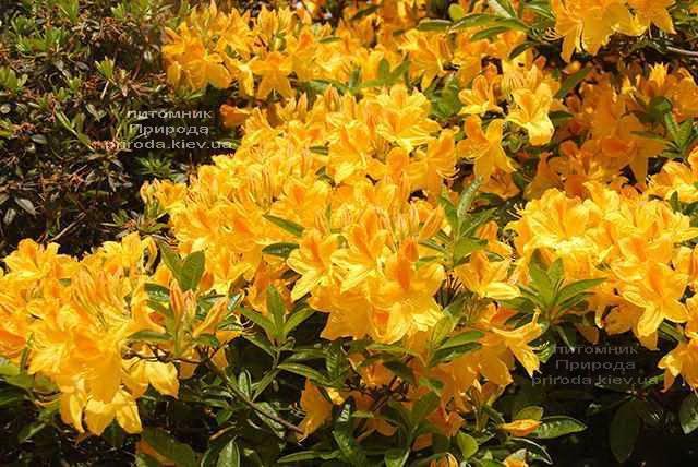 Азалия садовая крупноцветковая Голдетопас (Рододендрон листопадный Rhododendron Goldtopas) (1)