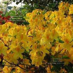 Азалия садовая крупноцветковая Голдетопас (Рододендрон листопадный Rhododendron Goldtopas) (2)